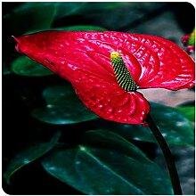 Topfpflanzen,Schöne Schnittblumen,Calla Lily
