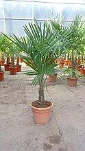 Trachycarpus fortunei 130 cm / Stamm 30 cm /