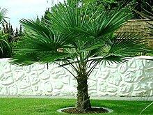 Trachycarpus fortunei ca. 125-140 cm. Frostharte