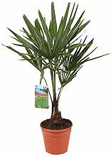 Trachycarpus fortunei | Chinesische Hanfpalme |