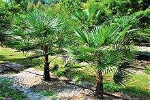 Trachycarpus Fortunei Hybrid Hanfpalme bis 130 cm