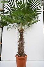 Trachycarpus fortunei, Palme, Hanfpalme Winterhart