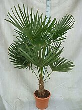 Trachycarpus fortunei, Palme, Hanfpalme