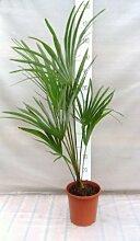 Trachycarpus sp. 'Manipur' - Hanfpalme -