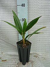Trachycarpus wagnerianus, Hanfpalme, Palme,
