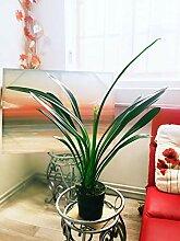 Traditionelle Zimmerpflanze im Topf, groß,