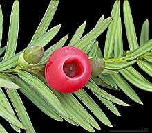 Tree Seeds Online - Taxus Baccata- Alt Englisch