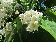 Trompetenbaum Catalpa bignonioides Pflanze