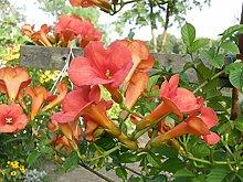 Trompetenblume Campsis tagliabuana 'Madame Galen' Kletterpflanze 60-100cm im Topf gewachsen