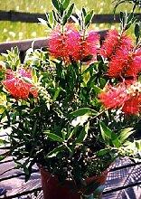 TROPICA - Australischer Lampenputzer (Callistemon