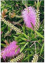 TROPICA - Australischer Lampenputzer Pink