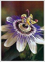 TROPICA - Blaue Passionsblume (Passiflora