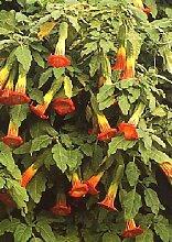 TROPICA - Blutrote Engelstrompete (Brugmansia