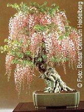 Tropica - Bonsai - Blauregen (Wisteria sinensis) -