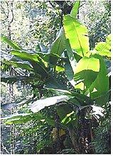 TROPICA - Darjeeling - Banane (Musa sikkimensis) -