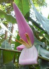 TROPICA - Kenia-Banane (Musa velutina) - 8 Samen
