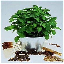 Tropica - Kräuter - Stevia Süßkraut (Stevia rebaudiana) - 100 Samen