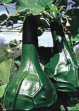 TROPICA - Kürbis - Herkules Keule (Cucurbita lagenaria) - 20 Samen