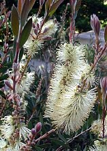 TROPICA - Lemon Bottlebrush (Callistemon pallidus)