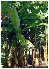 TROPICA - Silber - Banane (Musa balbisiana) - 10