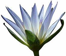 Tropische Seerose -Blaublühend- Eine Knolle *Das