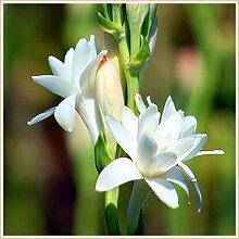 Tuberose Zwiebeln,Unglaubliche Blume,Reichhaltiger