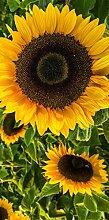 Türposter SONNENBLUME 100x200cm Türfolie Türtapete Natur Pflanze Gelb 801tp