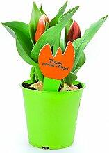 Tulpen Pflanzen, Tulpe Rote Pflanze im Topf aus eigener Gärtnerei