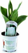Tulpen Pflanzen, Tulpe weiße Pflanze im Topf aus eigener Gärtnerei