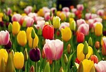 Tulpen Tulpenzwiebeln Hohe Keimrate Pflanze im