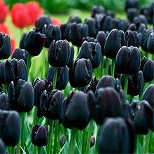 Tulpen Zwiebeln Blumen Im Wohnzimmer MehrjäHriges