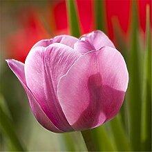 Tulpen Zwiebeln Blumenzwiebelblume Pflanzen