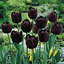 Tulpen Zwiebeln MehrjäHriges Kraut Elegant