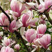 Tulpenmagnolie - Der Klassiker