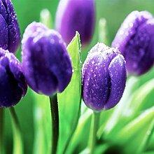 Tulpenzwiebeln,Magische Zierpflanze,Angenehm für