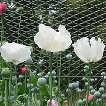Ultrey Samenshop - 100 Stück Gartenmohn Samen