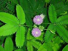 Ultrey Samenshop - Mimose Samen berühre mich