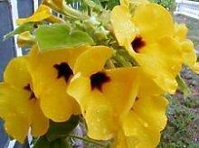 Uncarina peltata Exotische seltene Blume Caudex