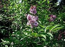 Ungarischer Flieder Syringa josikaea Pflanze