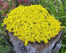 unsere-gaertnerei Mauerpfeffer gelb(Sedum acre)
