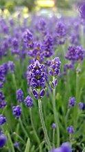 unsere-gaertnerei Pflanze, Lavendel in verschiedenen Varianten, 1 Stück, grün, 30x20x20 cm, 59-907x1