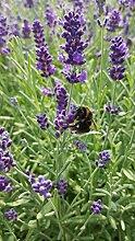 unsere-gaertnerei Pflanze, Lavendel in verschiedenen Varianten, 48 Stück im Set, grün, 30x20x20 cm, 59-907x48