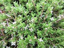 UNTERWASSERPFLANZEN STARTER SET - Teichpflanze