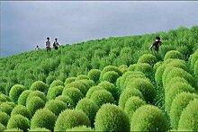 UPSTONE Garten - Exotic Sommerzypresse Saatgut