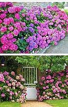 UPSTONE Garten - Südafrika Geranie Samen