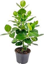 Urban Green | Pflanze Clusia Rosea 75 cm grün