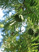 Urweltmammutbaum Metasequoia glyptostroboides