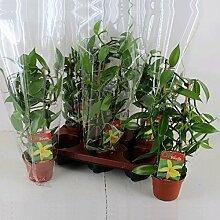 Vanilla planifolia - Kletterorchidee - Echte