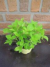 Vanille Basilikum Ocimum americanum x basilicum