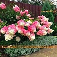 Vanille Erdbeere Hydrangea-Blumensamen, 50 Samen /